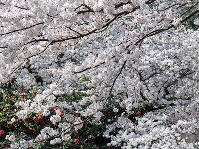 Yama-zakura (Prunus jamasakura) blossoms: Genji-yama