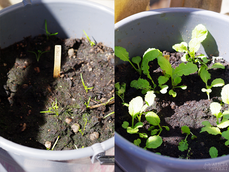 aliciasivert alicia sivert sivertsson odla odling på balkong balkongodling innerstan stockholm ätbart i kruka krukväxt krukväxter växter växt majrova morot morötter majrovor i hink