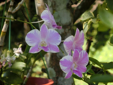 orkid ungu