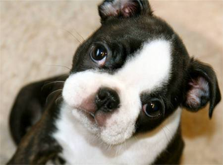 free boston terrier puppies cute puppy dogs cute boston terrier puppy 3984