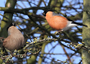 Courting Bullfinches