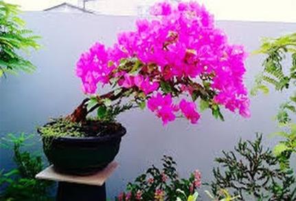Cara Membuat Bonsai Bunga Kertas Bougenville