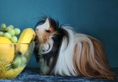 Peruvian guinea pig feed