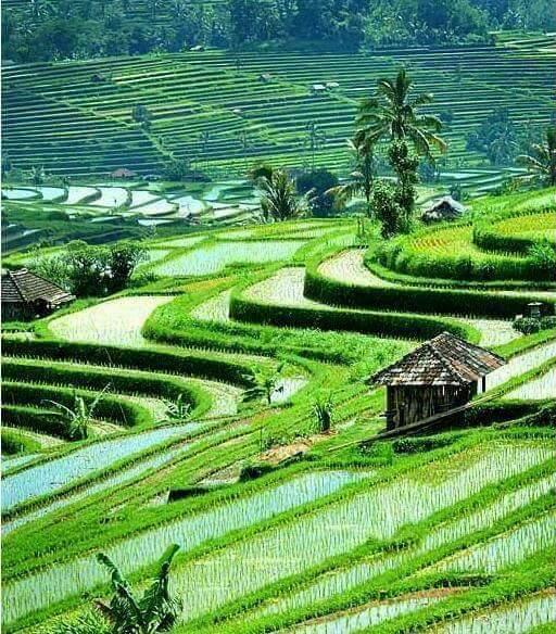 Pemandangan Alam Sawah di Desa Lereng Bukit Cantik