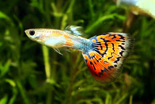 Top ikan hias guppy