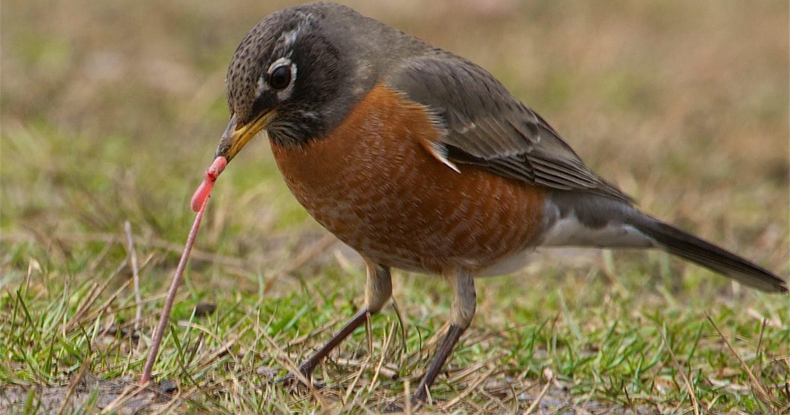 Manfaat Dan Jenis Cacing Yang Bagus Untuk Pakan Burung