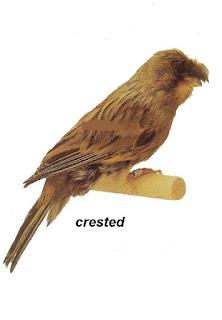 Burung Kenari Crested - Solusi Penangkaran Kenari - Mengenal Burung Kenari Crested -  Burung Kenari Type