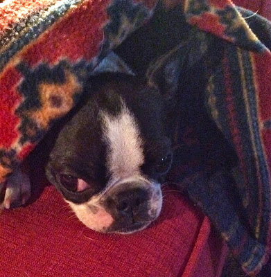 Sinead the Boston terrier recovering from a vaccine