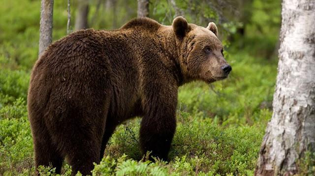 Καφέ αρκούδα σκότωσε κτηνοτρόφο