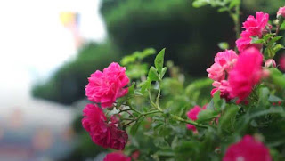 hoa hồng leo tầm xuân đỏ
