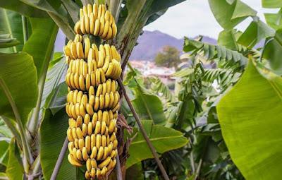 Do Bananas Have Vitamin C?