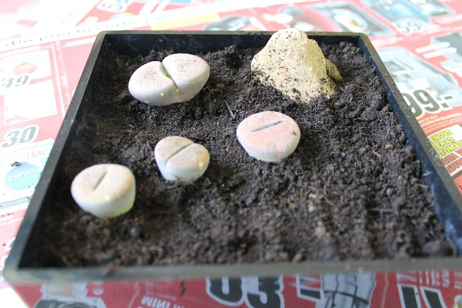 lithops en maceta