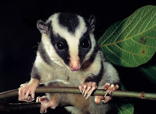 Tate's Triok Striped Possum. Papua Endemic Species
