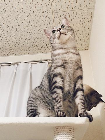完成したキャットタワーのてっぺんに登ったサバトラ猫