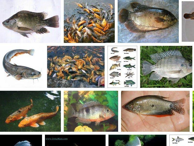 Cara Memelihara Ikan
