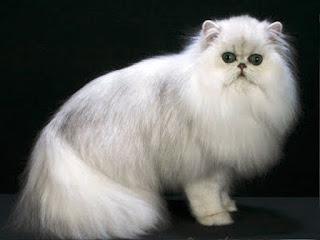 Gambar Kucing Persia Lucu 100022