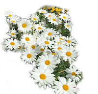 flor margarida em png