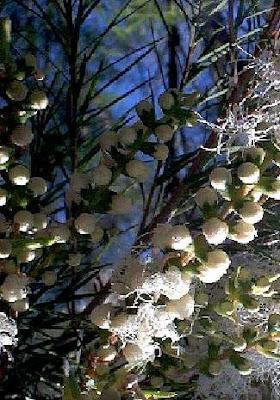 Medicinal Tea tree