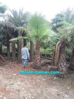 palm washington murah