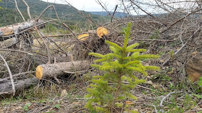 West virginia appalachia restoration red spruce sapling lambert's strip