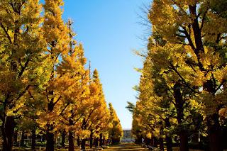 慶応の銀杏並木