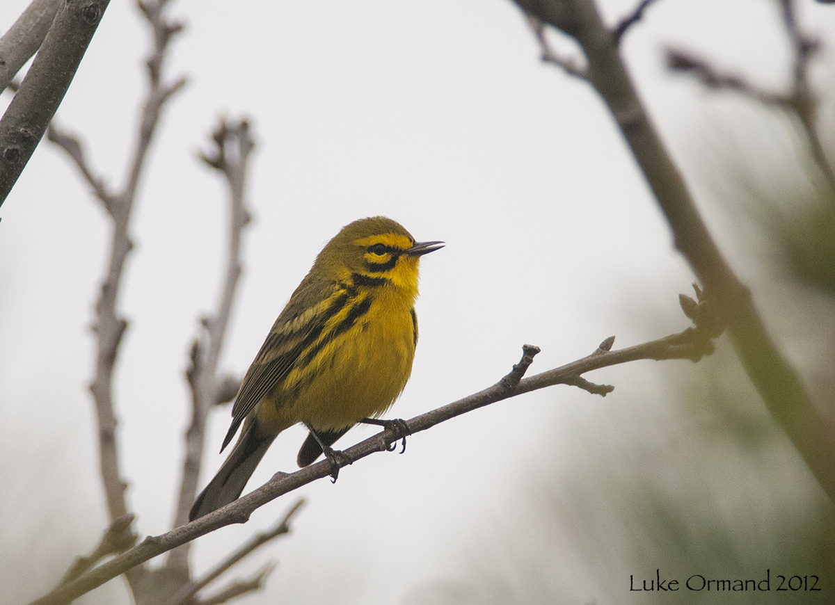 Welcome to. . .: Prairie Warblers Abound