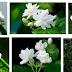 Cara Menanam Bibit Bunga Melati Dalam Pot