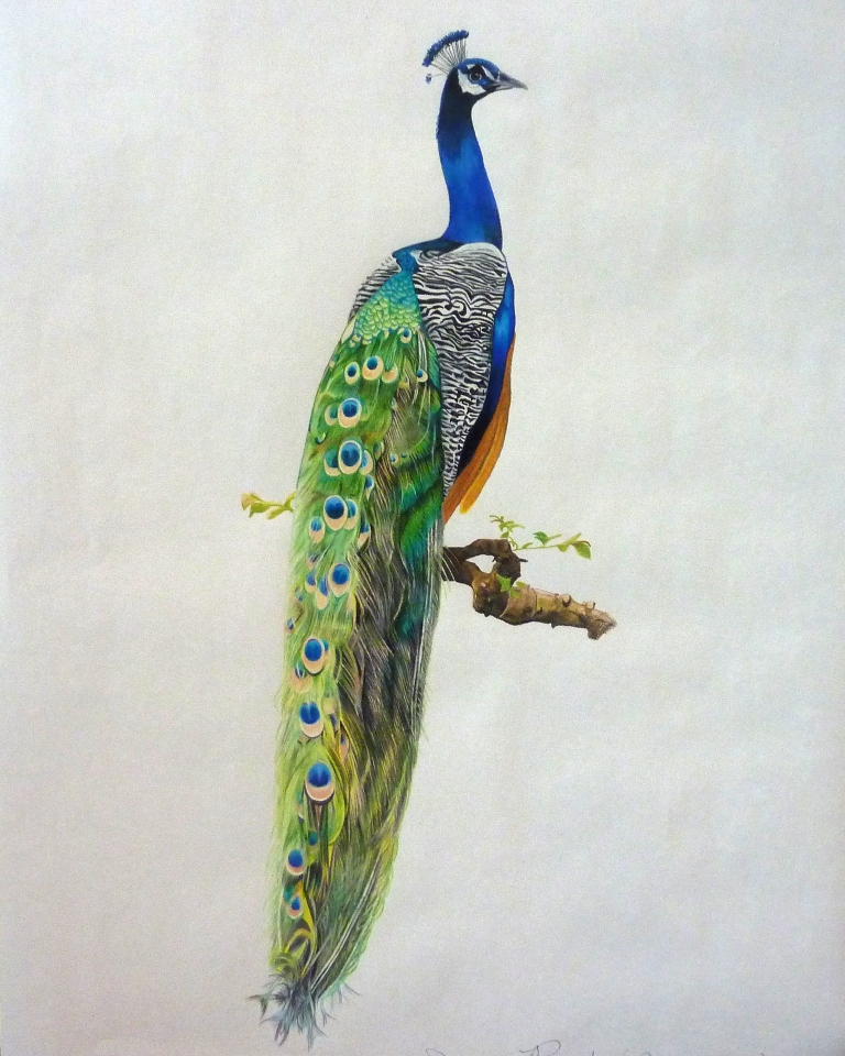 PJ's Corner: Colored Pencil Peacock by Amy