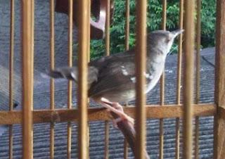 Burung Ciblek - Penyakit Kutu Burung yang Menyerang Burung Ciblek dan Cara Penangannannya - Penangkaran Burung Ciblek