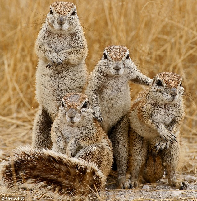 Group Of Squirrels 30