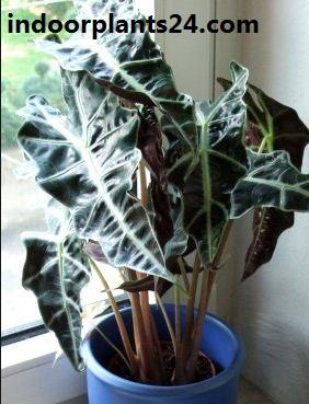 Alocasia sanderiana plant
