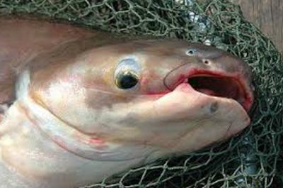 pengendalian hama dan penyakit ikan patin