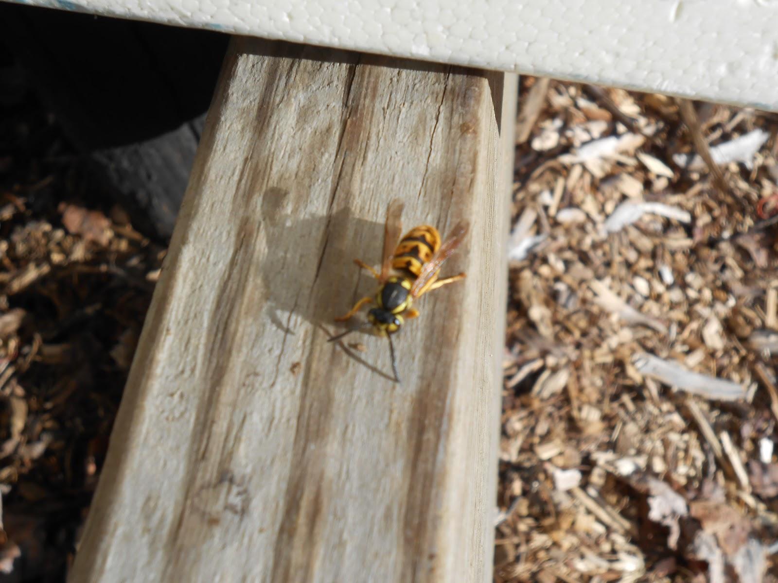 Homemade Wasp Killer Spray