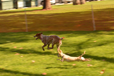 chihuahua and heeler lure coursing