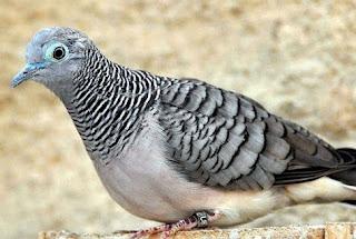 Kisaran Harga Terbaru Pakan Burung Perkutut Saat Ini 2017