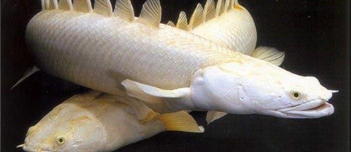Ikan Purba, Belut Dinasaurus dan Juga Jenis Ikan Hias Predator