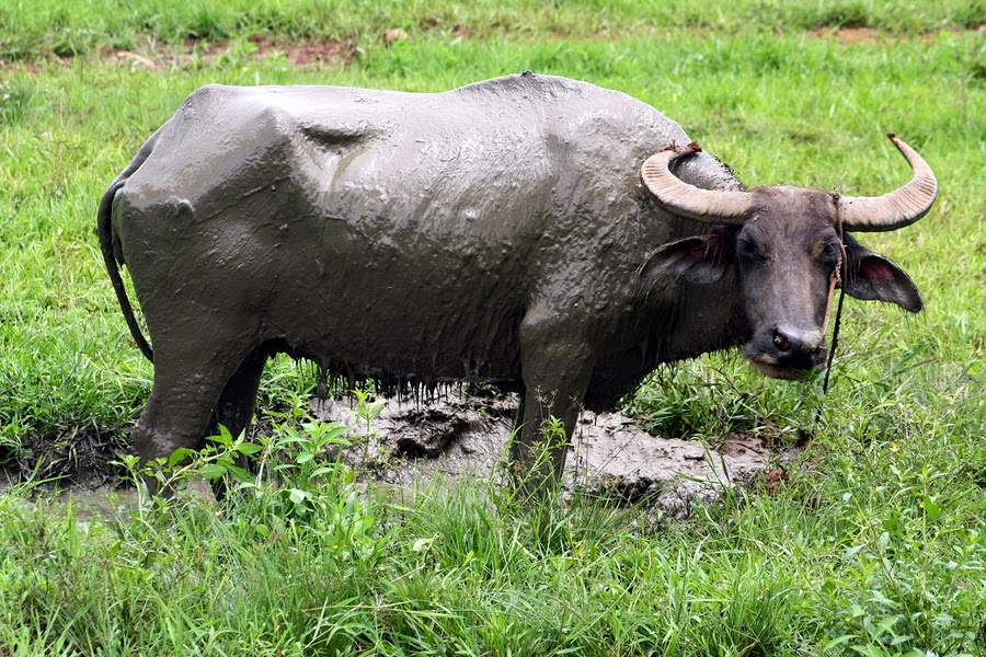 A Carabao (water buffalo) - national animal