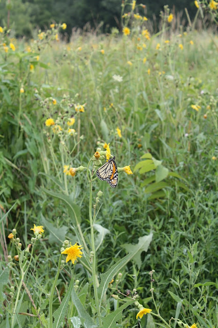 Monarch butterfly resting in the prairie at Lake Katherine.