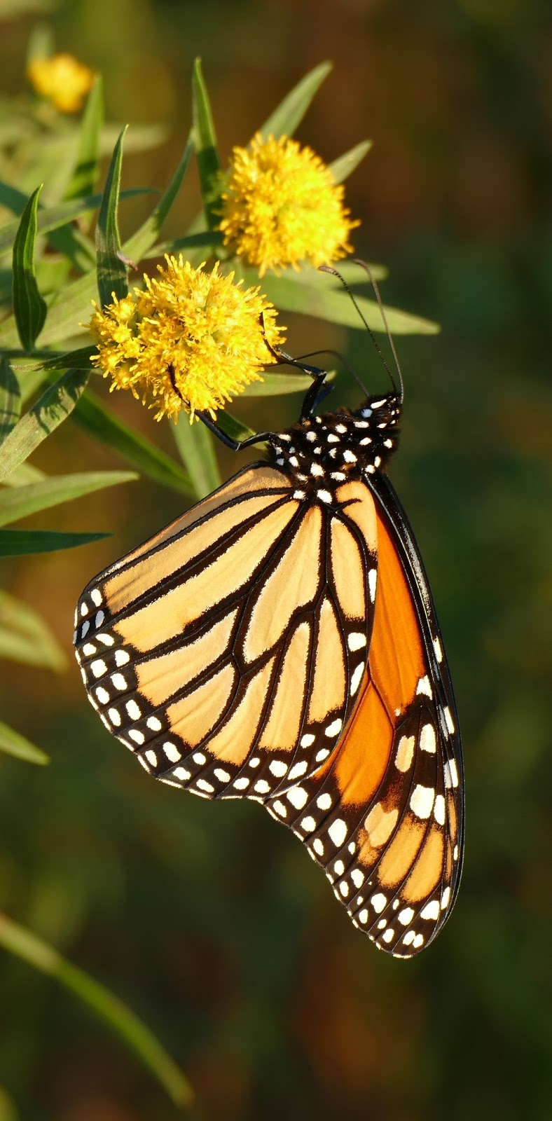 A close shot of a monarch butterfly.