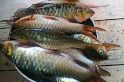 Mengenal Ikan Kerling