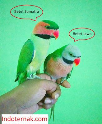 perbedaan-burung-betet-jawa-betet-sumatra