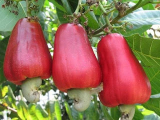 The Amazing Health Benefits And Efficacy Of Cashew Apple Fruit, Leaves, Stems And Seed For Health - Healthy T1ps