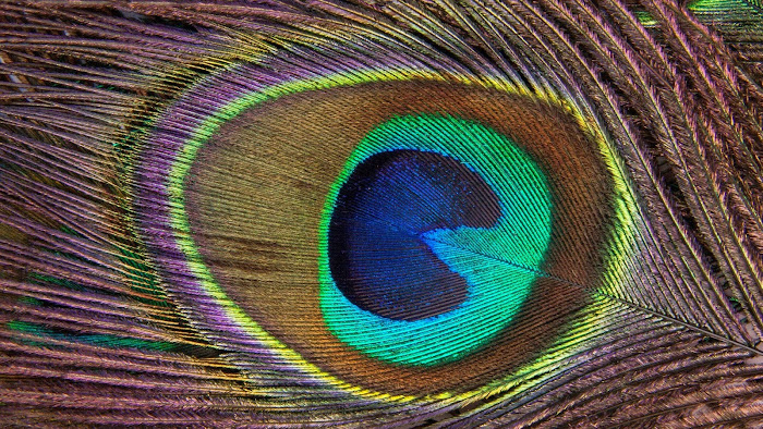 Peacock Feather High Quality HD Wallpaper