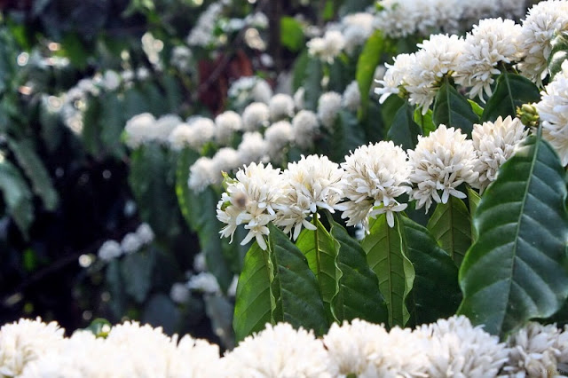 Central Highlands region whitened by coffee flowers 2