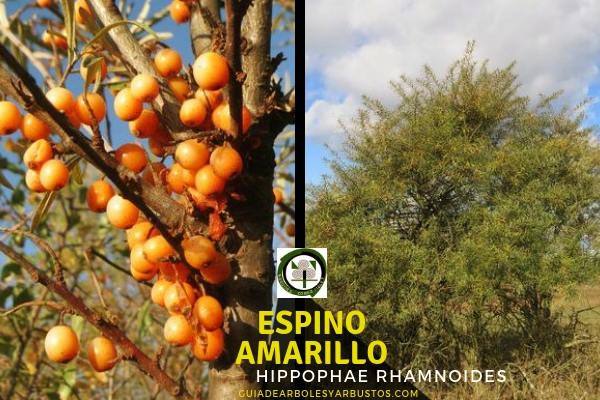 El espino amarillo, Hippophae rhamnoides, es un árbol que suele encontrarse en la costa en suelos arenoso