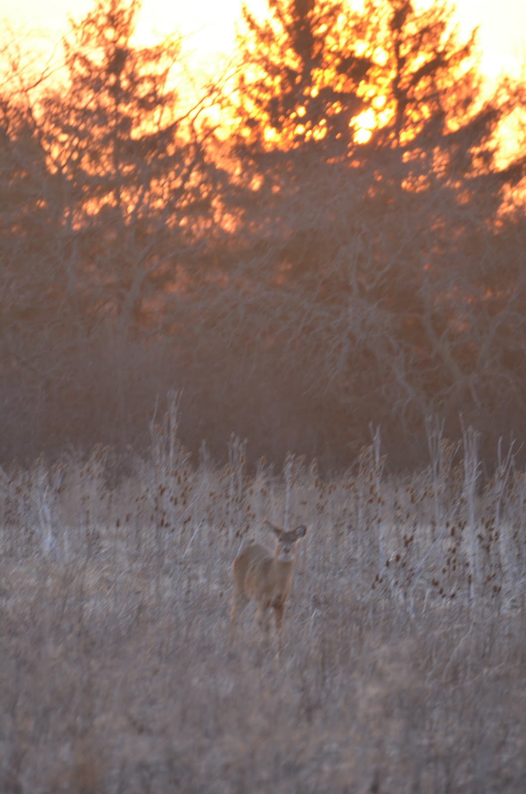 White-tailed deer detects scent and becomes wary!
