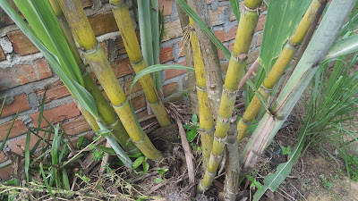 Sugarcane is Good For Woman Pregnant (During Pregnancy)
