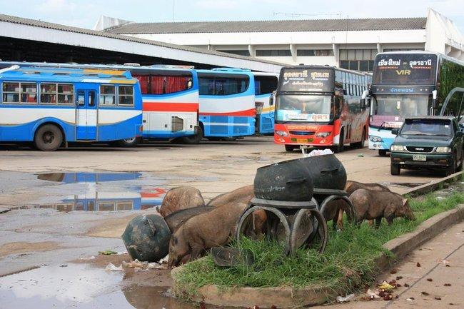 Свиньи роются в мусорке на автобусной станции