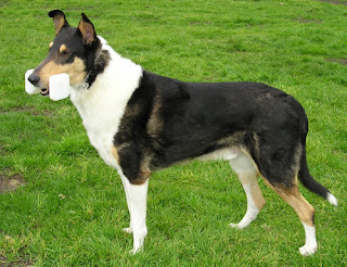 Smooth Collie-pets-dogs-pet-dog-dog breeds