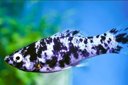 Apa Itu Ikan Molly? Inilah Penjelasan Ikan Molly yang Wajib Kamu Tahu